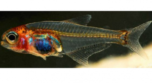 New-Species-of-See-Through-Fish-Discovered-in-the-Amazon.jpg
