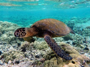 800px-Green_turtle_swimming_over_coral_reefs_in_Kona