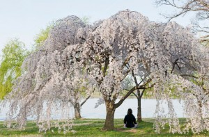 flowers-cherry-tree