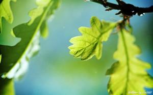 oak-tree-wallpapers_22385_2560x1600
