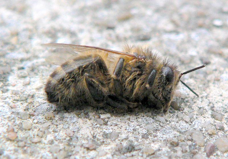 dead_honeybee