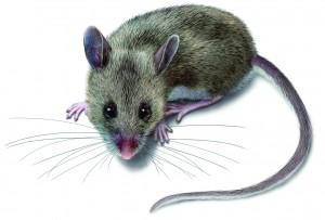 mouse-illustration_2388x1617