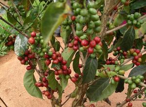 coffee-tree