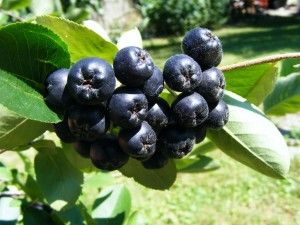 Black-chokeberry