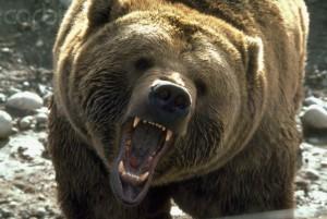 Fierce, Growling Bear