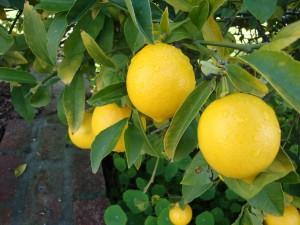 lemonontree 300x225 45 tervendavat ja kasulikku põhjust sidruni armastamiseks