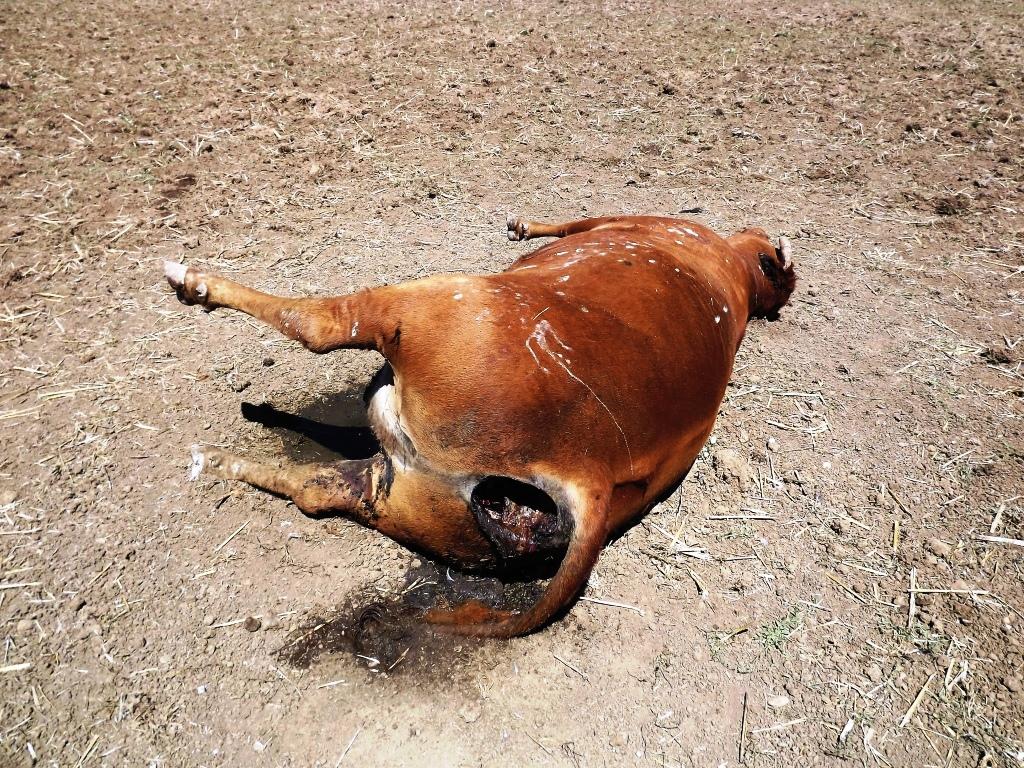 muundatud lehm - pole seotud sama  juhtumiga