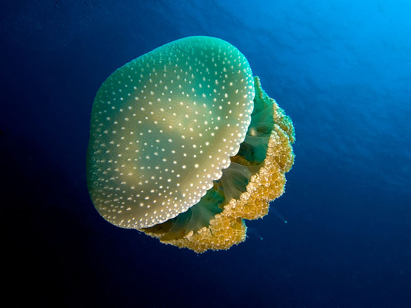 800px-Phyllorhiza_punctata_(White-spotted_jellyfish)_edit