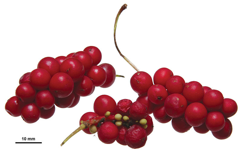 800px-Schisandra_chinensis_berries