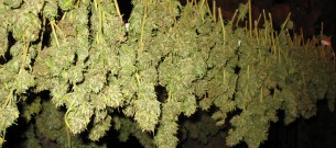 Drying_Cannabis_Buds