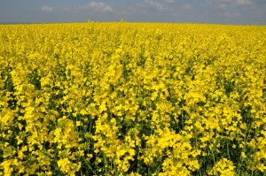 Rapeseed_field_(Brassica_napus)_in_Germany