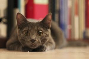 cat-bulging-eyes-closer-look-animal
