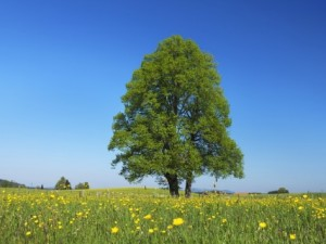 frank-krahmer-linden-tree-in-meadow-of-crowfoot-flowers_i-G-61-6162-8ZVG100Z