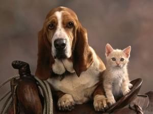 Basset_Dog_and_Kitten