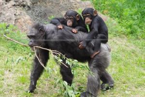 Noichi_zoo10_chimpanzee