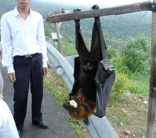 flying-fox