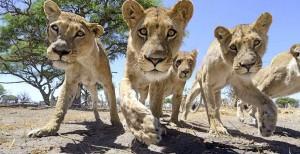 lion-photos-close-up-car-l-chris-mclennan-4