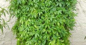 03-gynostemma-pentaphyllum-vista-general-medium