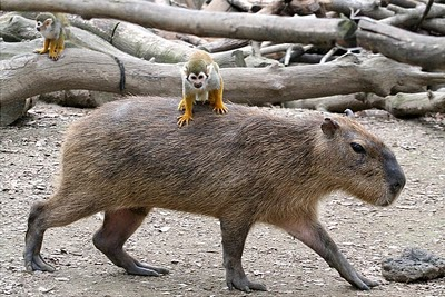A capybara - one of the world's largest rodents - carries a squirrel monkey on its back at Tobu Zoo