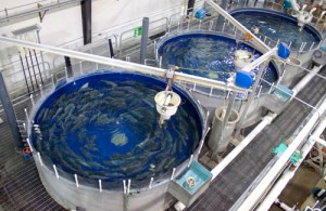 Recirculating-Aquaculture-Systems-4