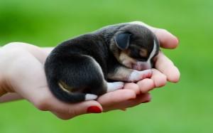 beagle-dog-puppy