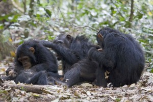 chimpanzees-tanzania