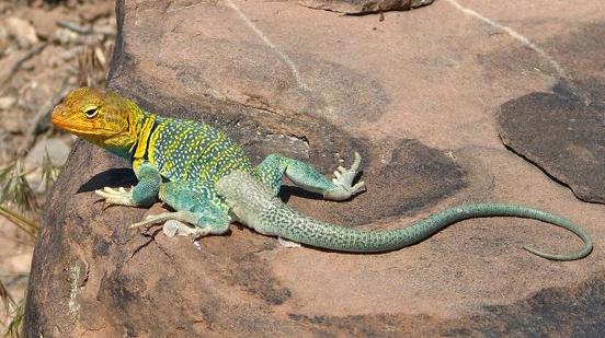 collared-lizard