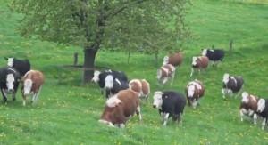 lehmad