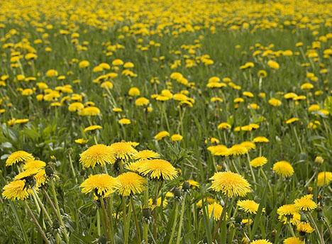 dandelion-field-080807