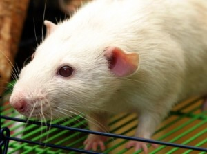 lab-rat-537x402