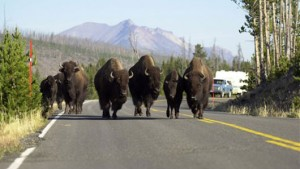 main_bison