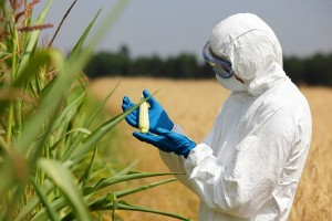 GMO_corn_shutterstock_148936832