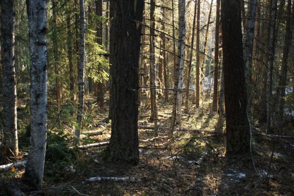 birch-and-fir