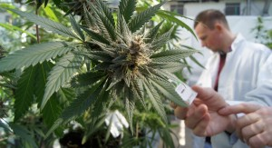 Basic-Cannabis-Growing-Guide-Strain-Grade-Growing-