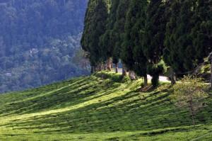 Temi_Tea_Garden_Sikkim_India_October_2013