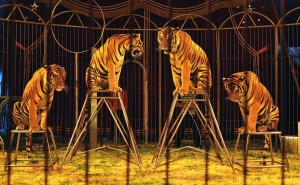 tigers-by-dirkjan-ranzijn