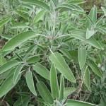 SalviaOfficinalis7