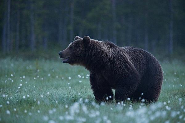 Karu tuleb oodata kaua ja mõnikord ei pruugi mitu päeva ühtegi näha. Sellelgi ööl jäi Karl varjes karu oodates magama. Üles ärkas kõhutunde peale. Karl Adami